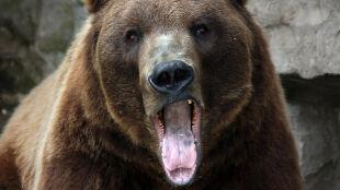Niedźwiedź po zimie jest głodny i zły