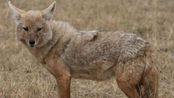 Nowy gatunek drapieżnika w Polsce - szakal złocisty