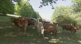 Uciekły krowy, jedna wróciła z cielakiem